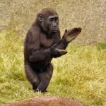 PICTURE OF MONKEY CLAPPING