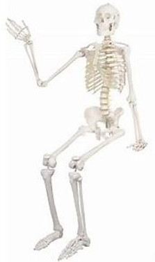 Skeleton of Body for Post Severs Disease in Children